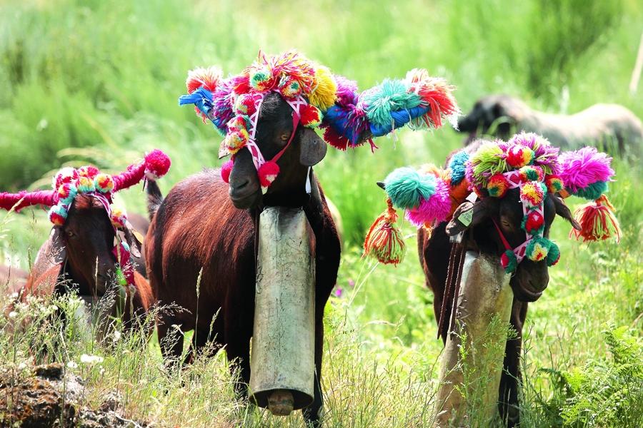 Festa da Transumância de Seia realiza-se a 30 de junho