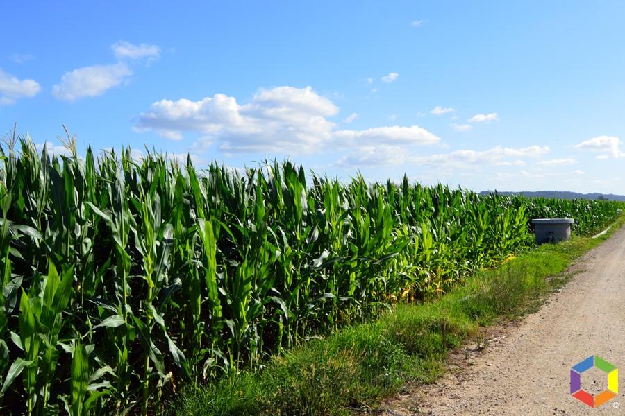 Colheita de milho no Baixo Mondego reduzida a metade depois do Leslie